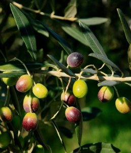 Olive ripening on the branch